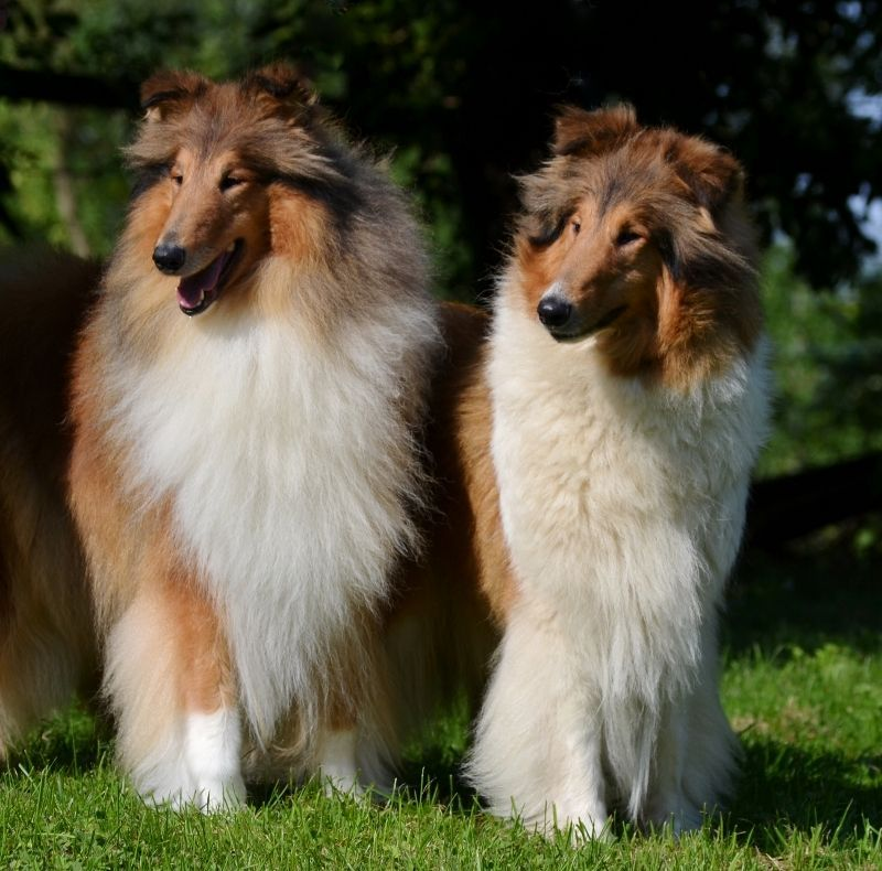 Wicani Collies Official Webpage Wicani Home Of Happy Collies