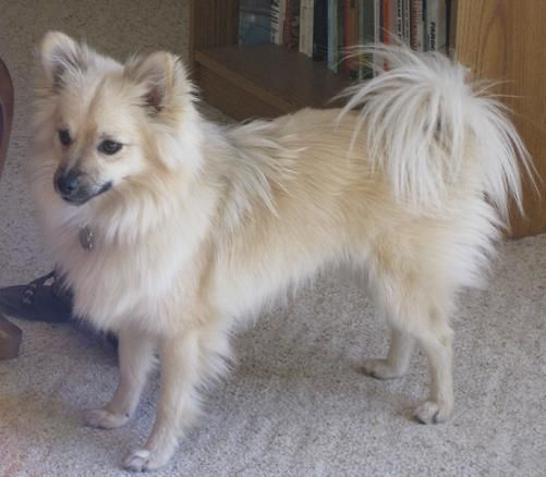 chihuahua pomeranian mix full grown another pomsky oh i want one animals pinterest 4318