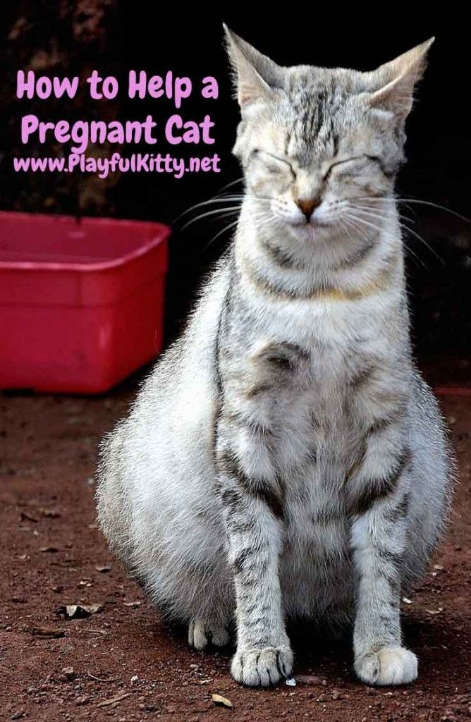How To Help A Pregnant Cat Playful Kitty Pregnant Cat Cat Having Kittens Pregnant Cat Stages