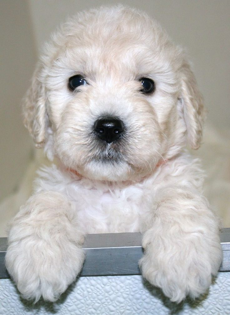 Goldendoodle 6 Weeks Old Cute Dog Pictures Goldendoodle Puppy