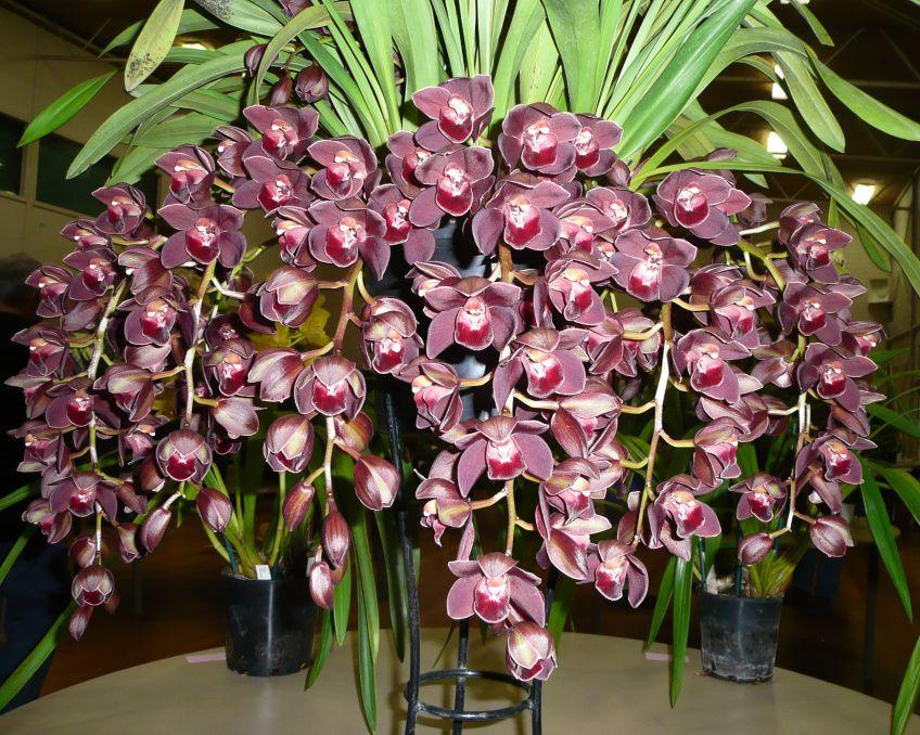 Cymbidium Orchid Last Tango Cymbidium Orchids Orchids Beautiful Orchids