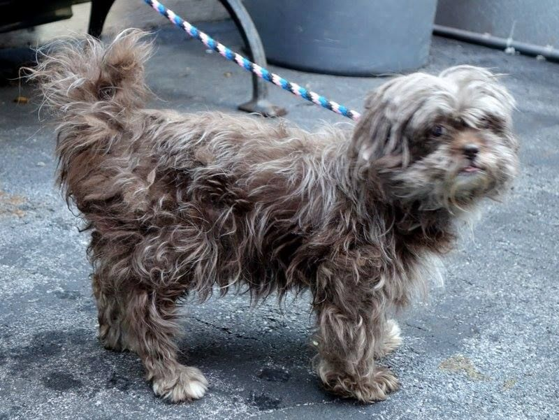 SAFE - 5/19/14  Manhattan Center   My name is LILLY. My Animal ID # is A0999737.  Pulled by Posh Pets Rescue  Please honor your pledges: http://poshpetsrescue.org/ways-to-help/ I am a female brown and gray shih tzu mix. The shelter thinks I am about 5 YEARS old.   I came in the shelter as a STRAY on 05/13/2014 from NY 10468, owner surrender reason stated was STRAY.   https://www.facebook.com/photo.php?fbid=806006942745520&set=a.611290788883804.1073741851.152876678058553&type=3&permPage=1