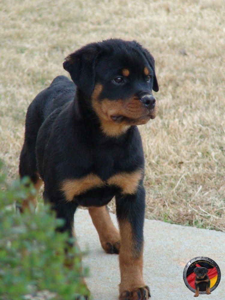 Dkv Rottweilers How To Select The Right Pup Rottweilerpuppies