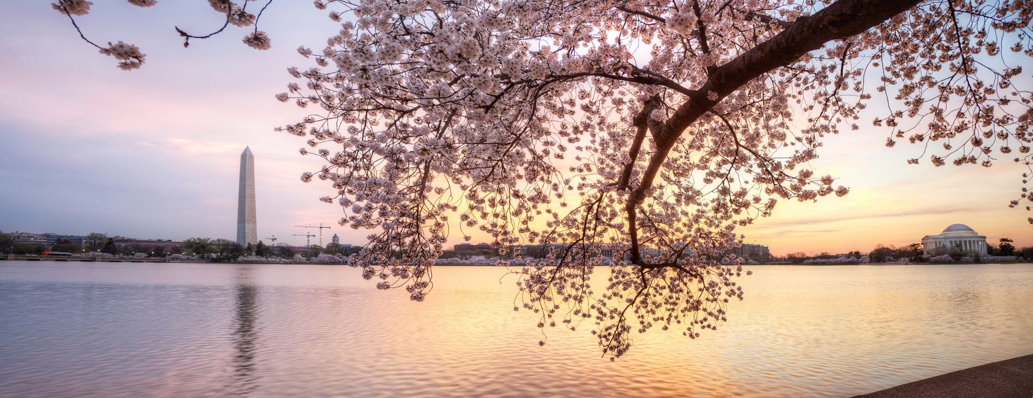 2048x790 cherry blossom free computer wallpaper
