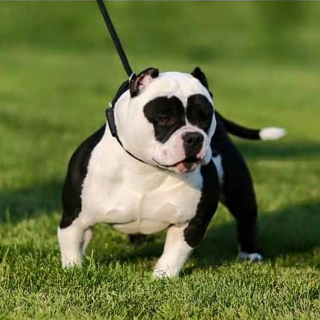 Panda Americanbully Bullybreed Bullyz Badass Dogs Animals Pitbull Pitsofinstagram Instadog Strong Beast Bodybuil Dogs Bully Dog Dog Breeds