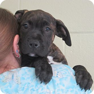 Sonoma, CA - American Pit Bull Terrier Mix. Meet Beyonce, a puppy for adoption. http://www.adoptapet.com/pet/12829556-sonoma-california-american-pit-bull-terrier-mix