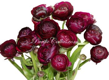 Fresh ranunculus | purple, burgundy, eggplant | available year round | 20 for $89 FREE SHIPPING | 50 for $125 FREE SHIPPING