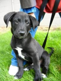 Lab Border Collie Mix Puppy Pics Page 2 Share Yours Collie