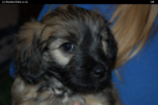 Pyrenean Sheepdog Puppies For Sale Pyrenean Sheepdog Puppies For