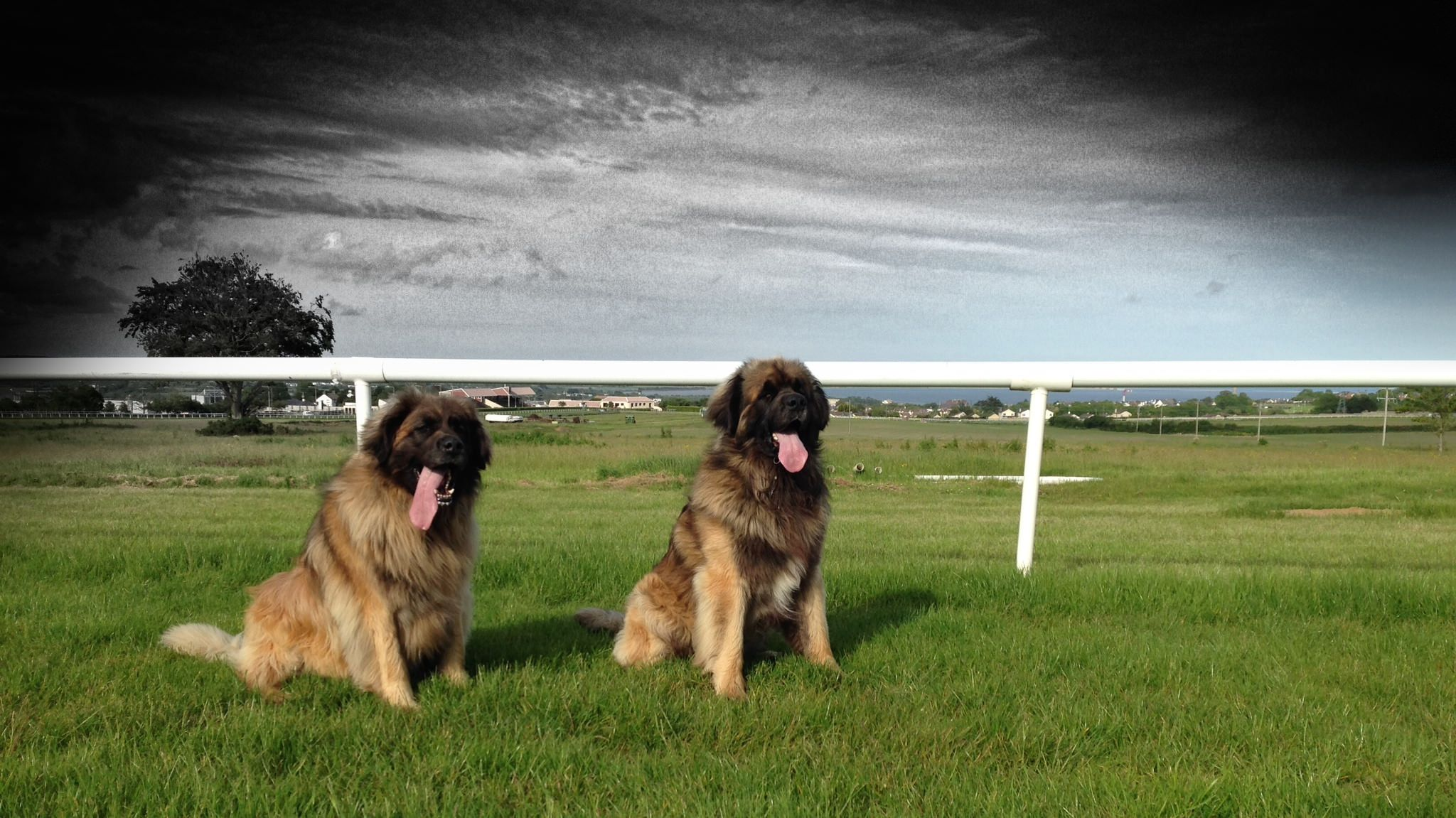 Delboy Ossie At The Races Leonberger Companion Dog Mans Best