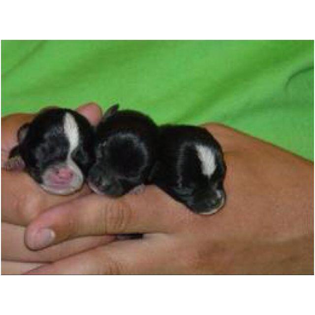Teacup Chihuahua Chihuahua Puppies Chihuahua Puppies For Sale Teacup Chihuahua Puppies