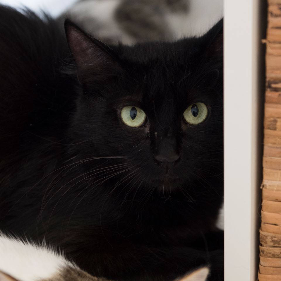 Adopt A Foster Cat This Feline Rescue Girl Is Aura