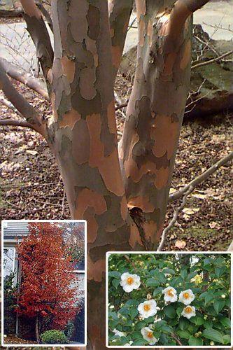 Stewartia pseudocamellia | Japanese stewartia | Stewartia tree, Plants,  Trees to plant