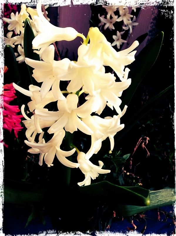 Gorgeous Hyacinth, wish smell-o-vision had arrived for this one