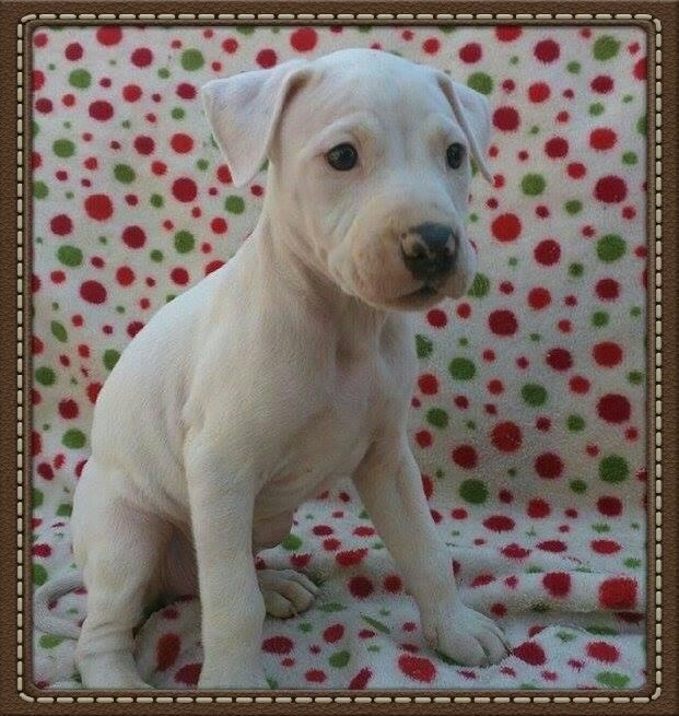 Adopt Walter White On Baby Animals American Bulldog Mix