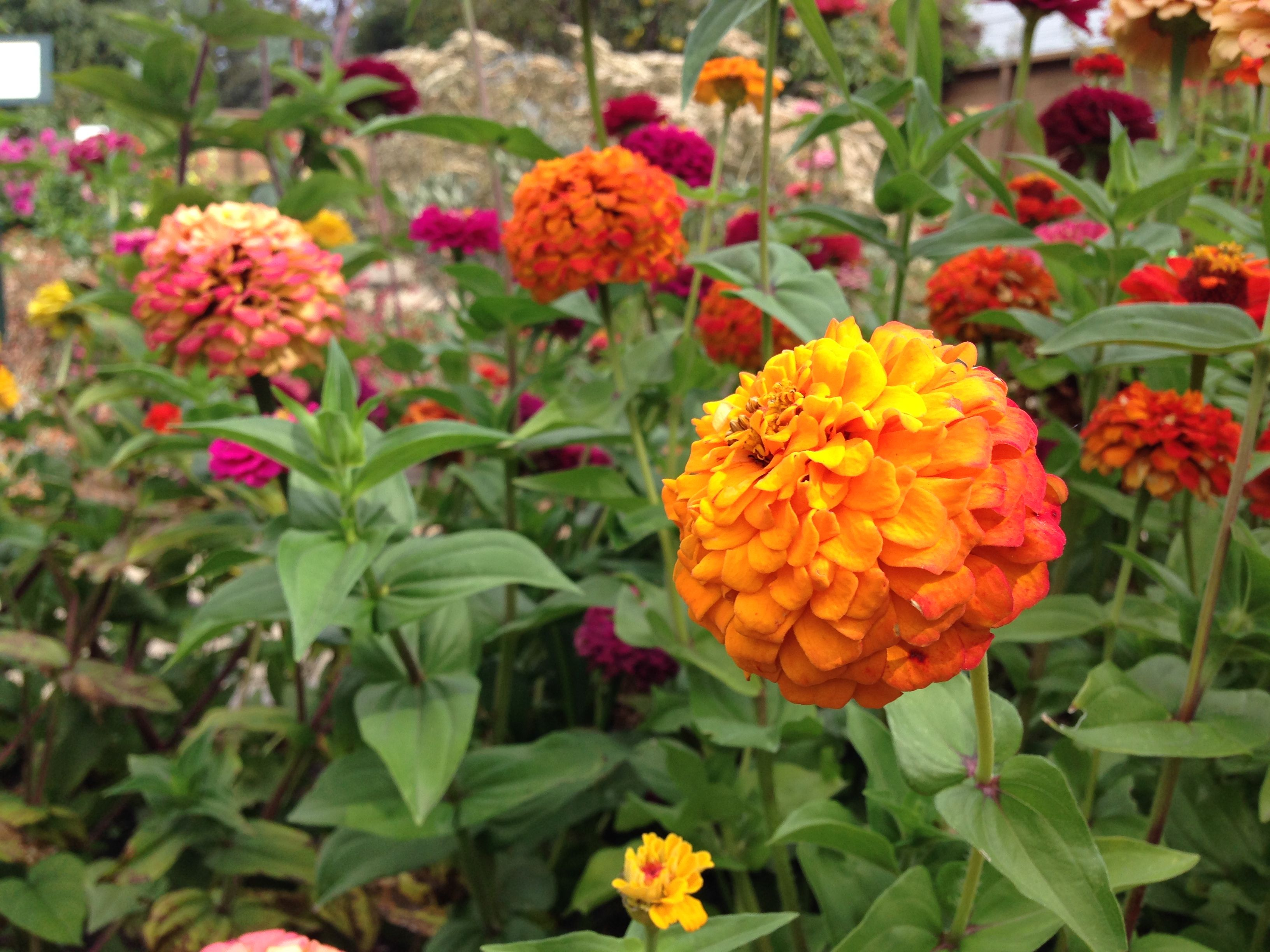 We're ZANY for zinnias! These flowers thrive on volcanic rock dust, an all-natural source of silicon that helps strengthen plant cells and boosts resistance to pests and disease.