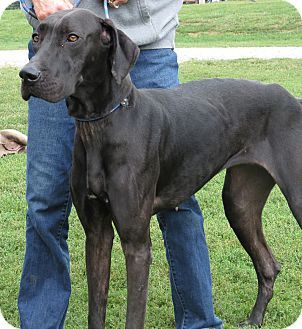 Great Dane Puppies For Sale In Pa Dane Puppies Great Dane Puppy