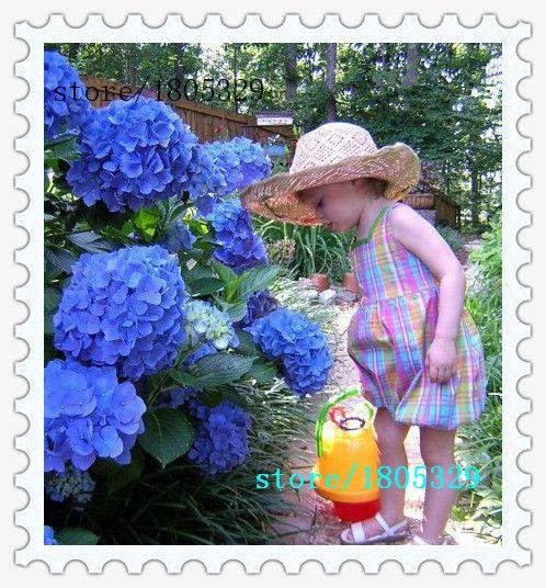 100 Azul Flor Hortensia Semillas Bonsai Árbol Casi No Necesitan Cuidado