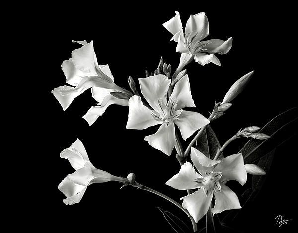 Oleander in black and white greeting card for sale by endre balogh