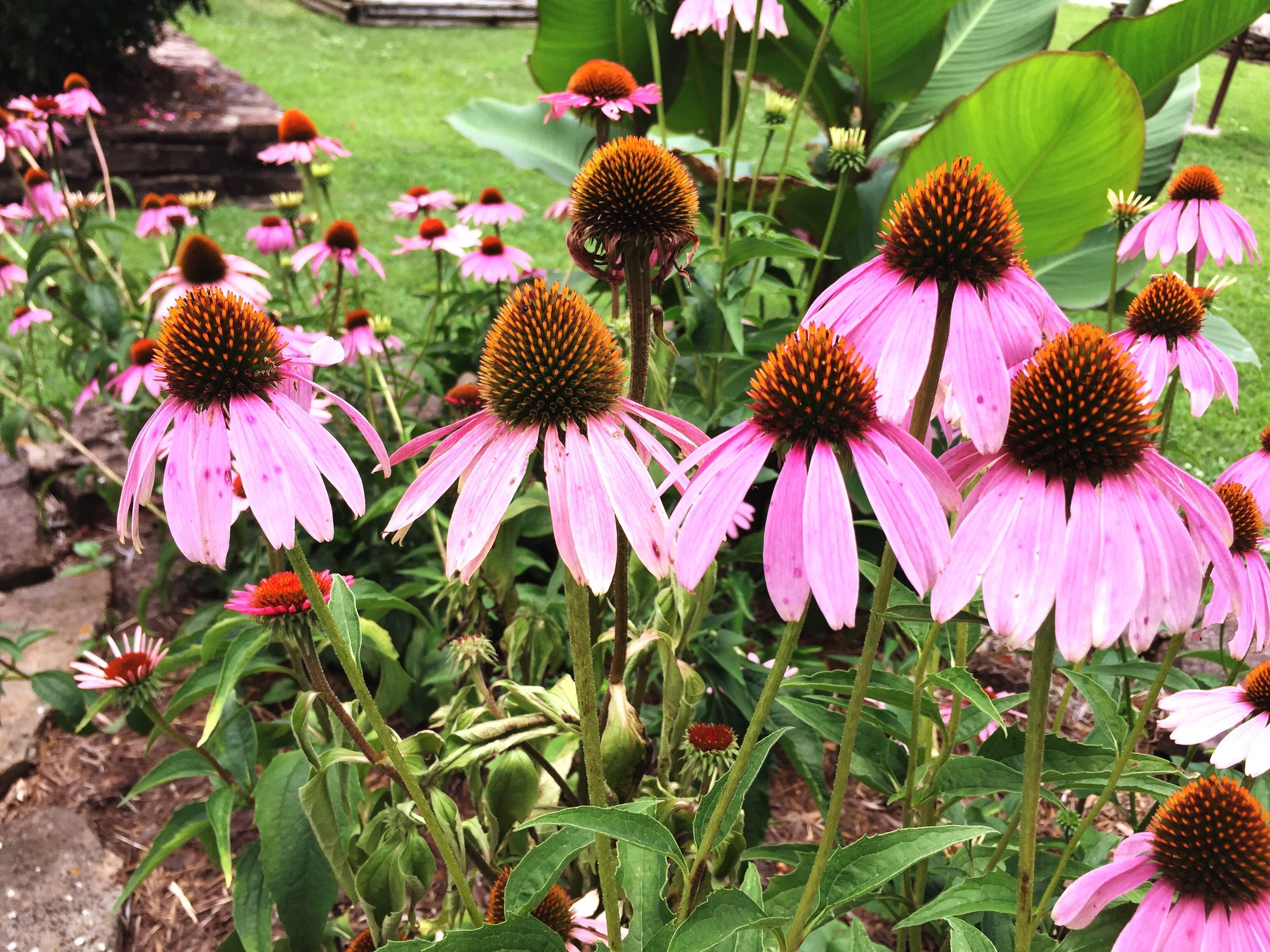 Coneflowers Garden Favorites For A Reason Native Plants Plants Butterfly Plants