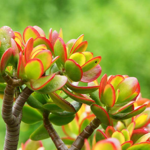 Crassula Minor Plante Grasse With Images Succulents Flowers