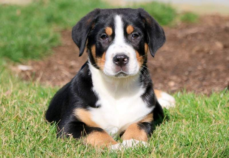 Greater Swiss Mountain Dog Puppy For Sale In Mount Joy Pa Adn 71835 On Puppyfinder Com Gender Ma Swiss Mountain Dog Puppy Greater Swiss Mountain Dog Puppies