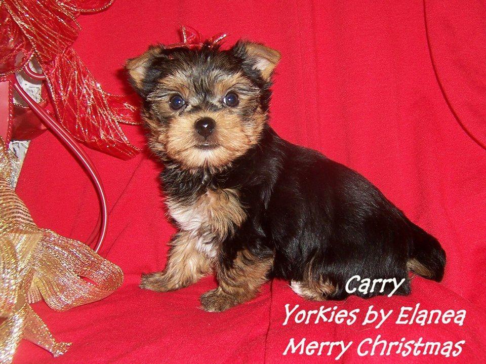 Tiny Yorkie for sale in Arkansas. Yorkie puppy, Yorkie