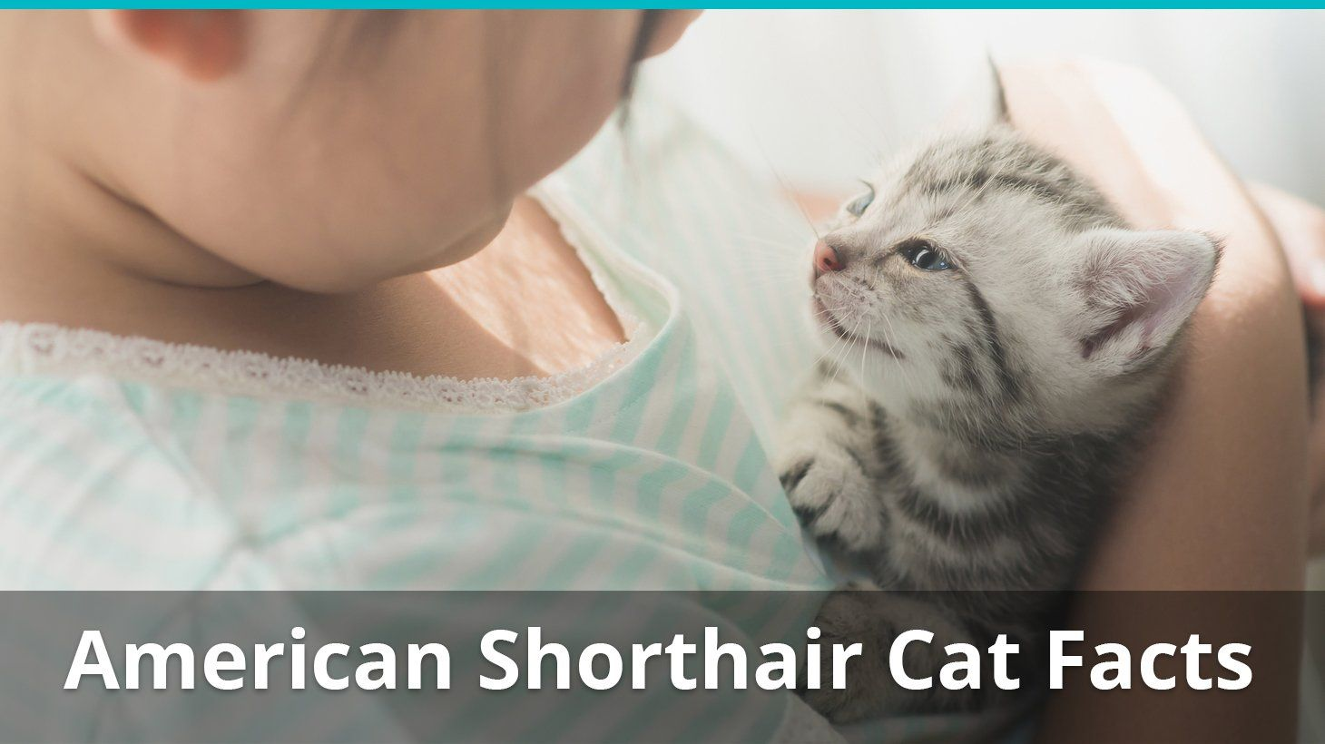 American Shorthair Cat Facts Colors Health Issues Nutrition And More American Shorthair Cat American Shorthair Cat Facts
