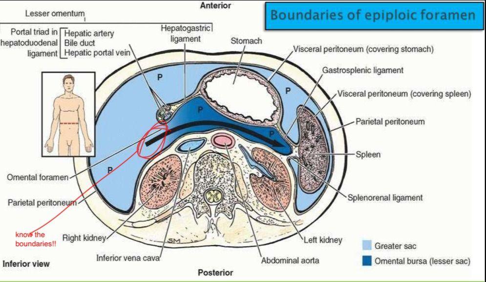 Flashcards GI Anatomy | Quizlet | peritoneum | Pinterest