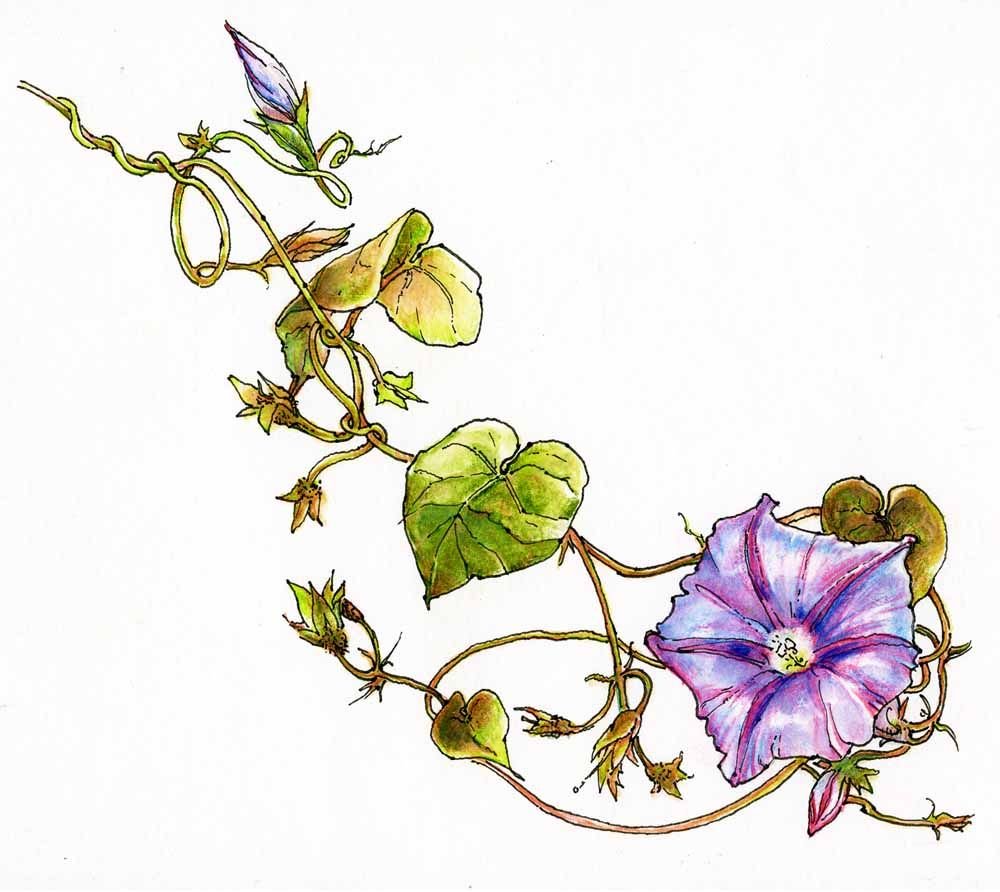 Morning Flower Drawing Glory Vines