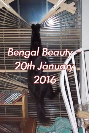 Lauren James Tells About Bengal Beauty – 20th January 2016   #cats  #pets  #catlife  #adoptdontshop  #lovecats  #Choose  #catcondo  #Tabby