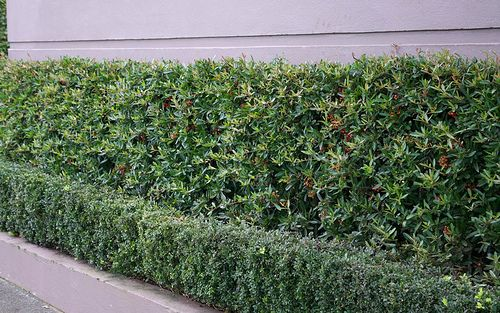 Pyracantha Brilliant Is A Beautiful Instant Hedge Which