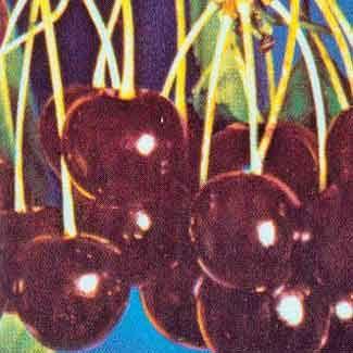 Summer Stone Nursery Black Tartarian Cherry Trees Sweet Fruit Berry Plants Rose Bushes Perennials