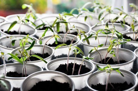 как правильно вырастить рассаду на подоконнике