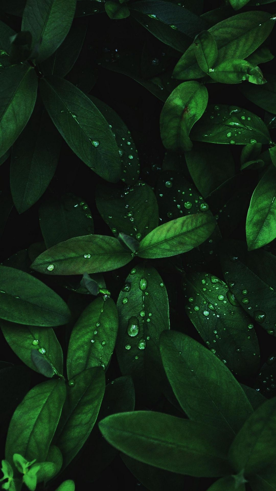 Drops Leaves Dew Macro Wallpaper Lockscreen Mobile Android