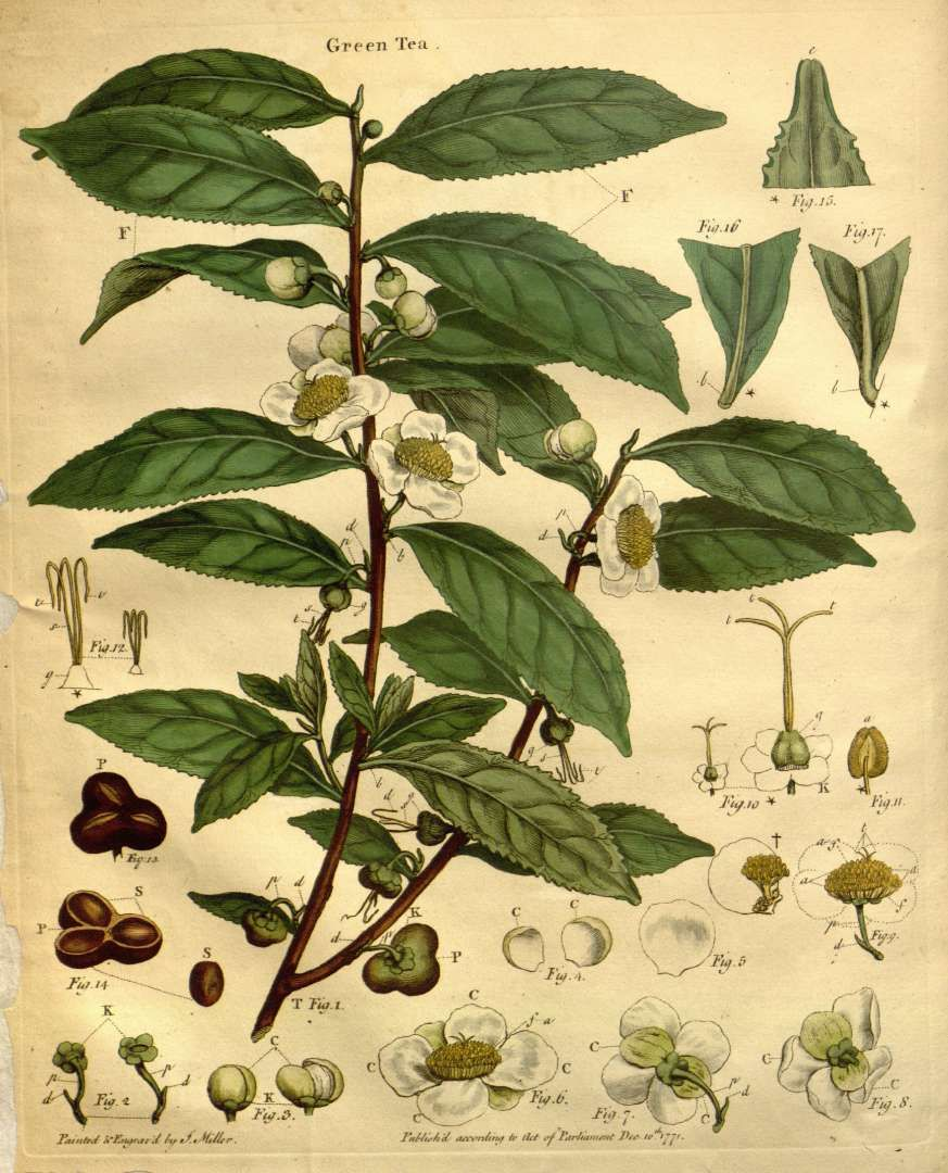 Camellia Sinensis L Kuntze Var Green Tea Lettsom J C The Natural History Of The Tea Tree P I 1799 J Plant Illustration Tree Illustration Tea Plant