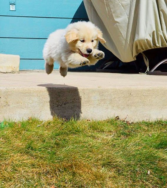 Flying Golden Retriever Puppy Cute Cats And Dogs Golden