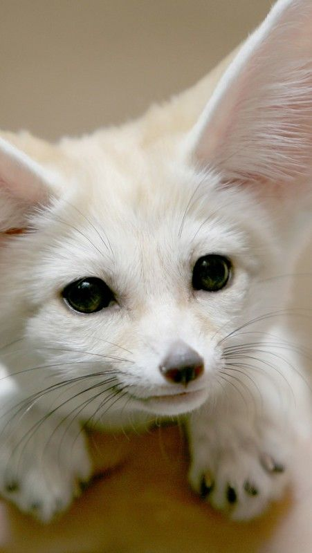 fennec_fox_face_ears_cute_26054_640x1136 #cutefox