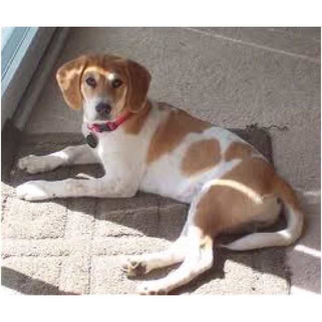 Its A Beago A Golden Retriever And Beagle Mix I Love Them And Want