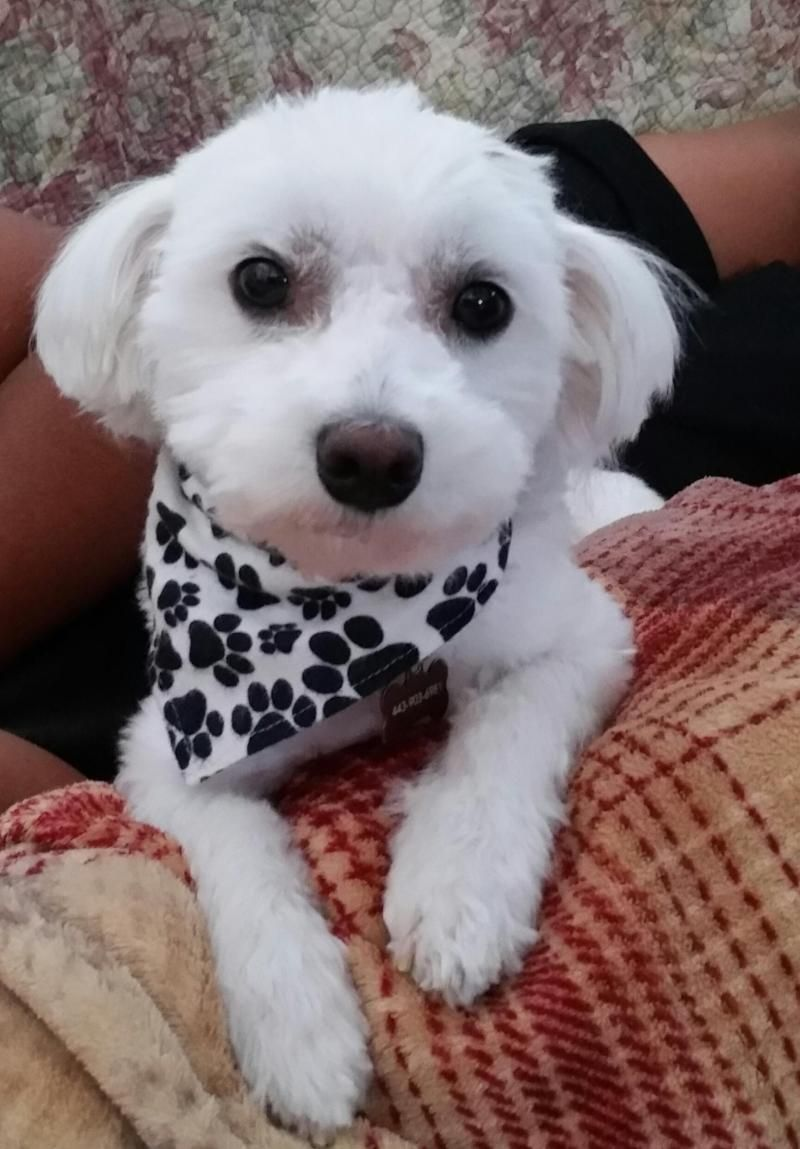 Adopt Cobie On Pet Finder Maltese Dogs Pet Search