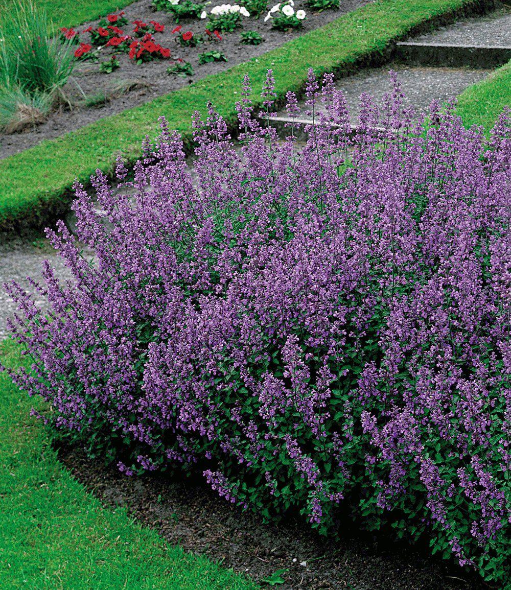 Katzenminze Top Qualitat Online Kaufen Baldur Garten Pflanzen Garten Bepflanzen Katzenminze