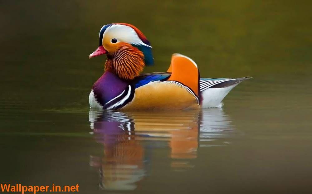 colorful birds most colourful bird mural bird wallpaper pet rh pinterest com