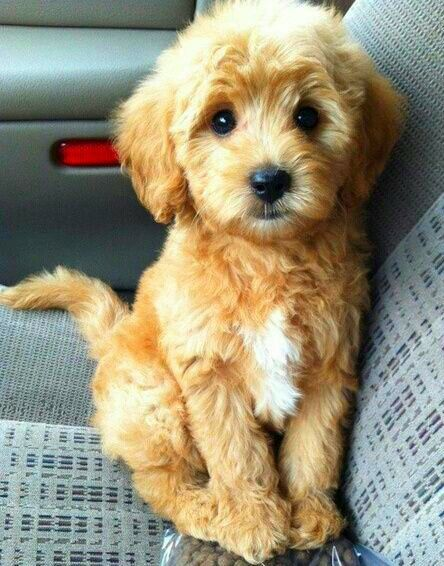 Pin By Taurus And Twine On Things I Love Cute Animals Puppies Goldendoodle Miniature