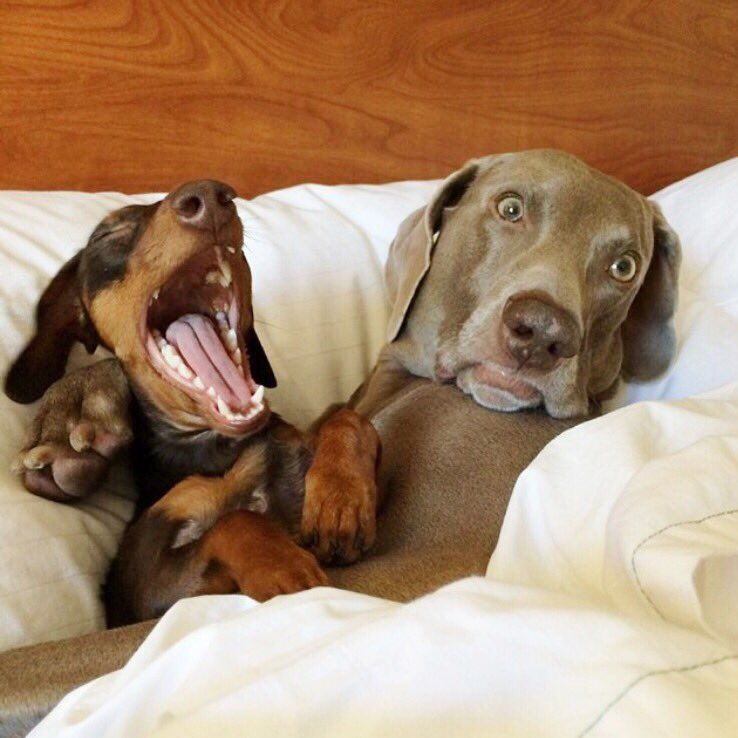 Morning Breath Indiana Harlow Puppies Dogs Funny Dachshund