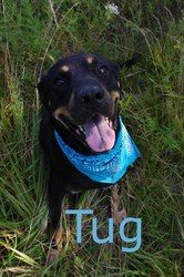Adopt 729 Tug 8 Adopted On Rottweiler Dog Dog Pounds
