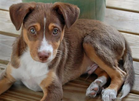 Meet Chowder An Australian Shepherd Mix With Beagle Dog Puppy To
