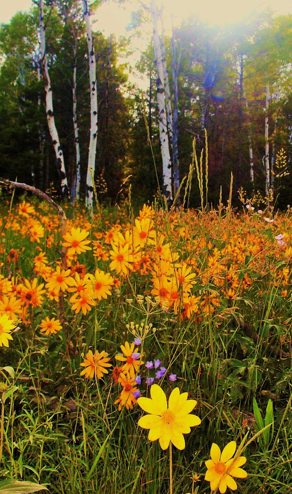 Field of wildflowers near the Grand Tetons. Wild flowers