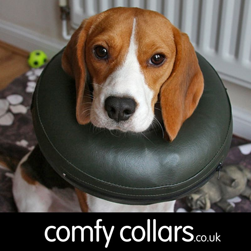 "Beanie wearing her Comfy Collar... ""More comfortable than the standard lampshade - Beanie behaves pretty normally with it on and can eat, drink and sleep soundly. It's lightweight, and doesn't obstruct the dog's field of view at all."" ...by Paul"