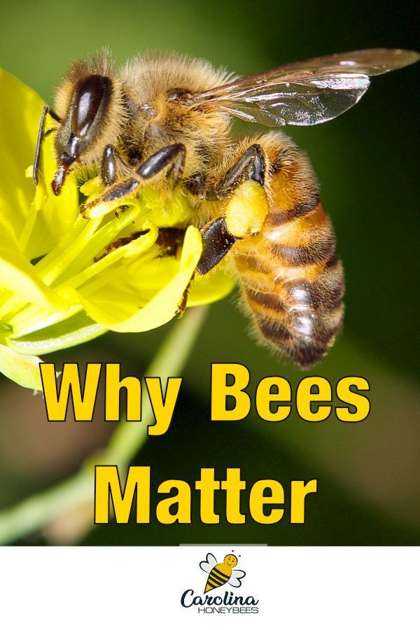 Do you think bees don't matter much to your lifestyle?  Not true, bees are important to us for many reasons. #carolinahoneybees #savethebees #beepollination