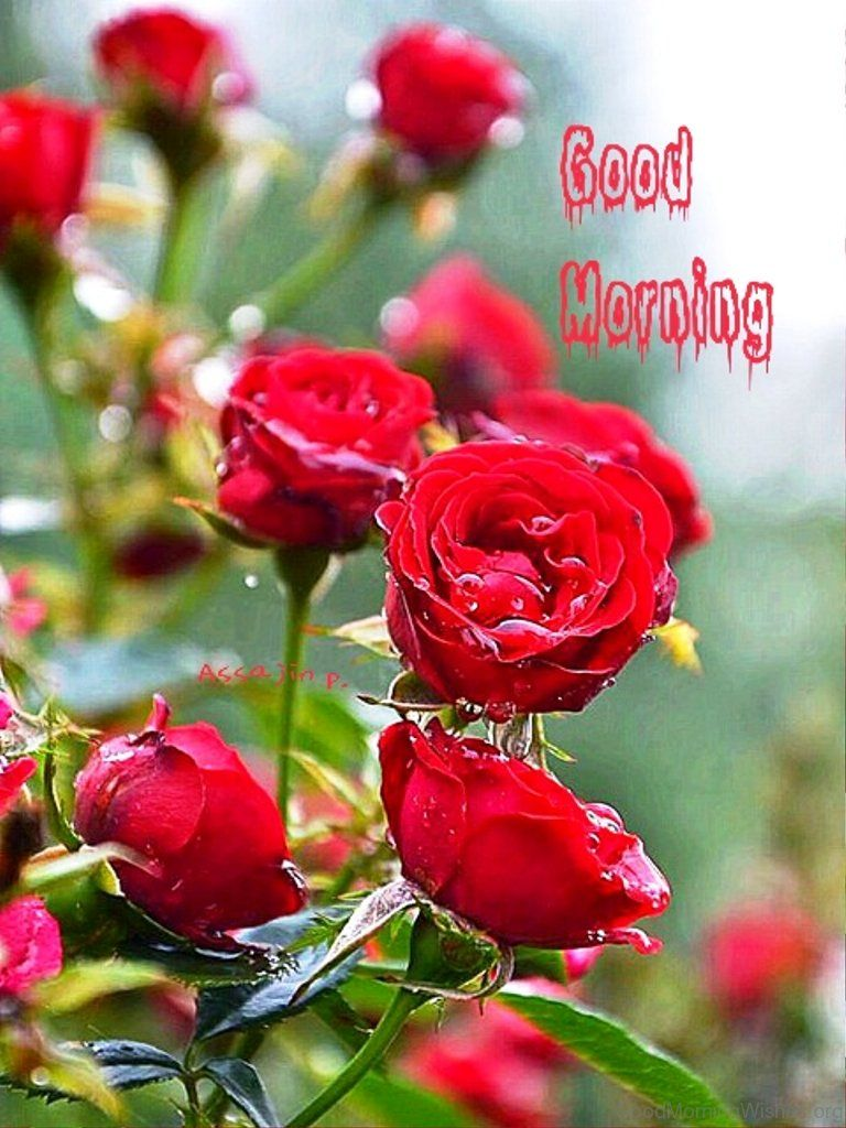Good Morning With Amazing Red Rose Quotes Good Morning Morning